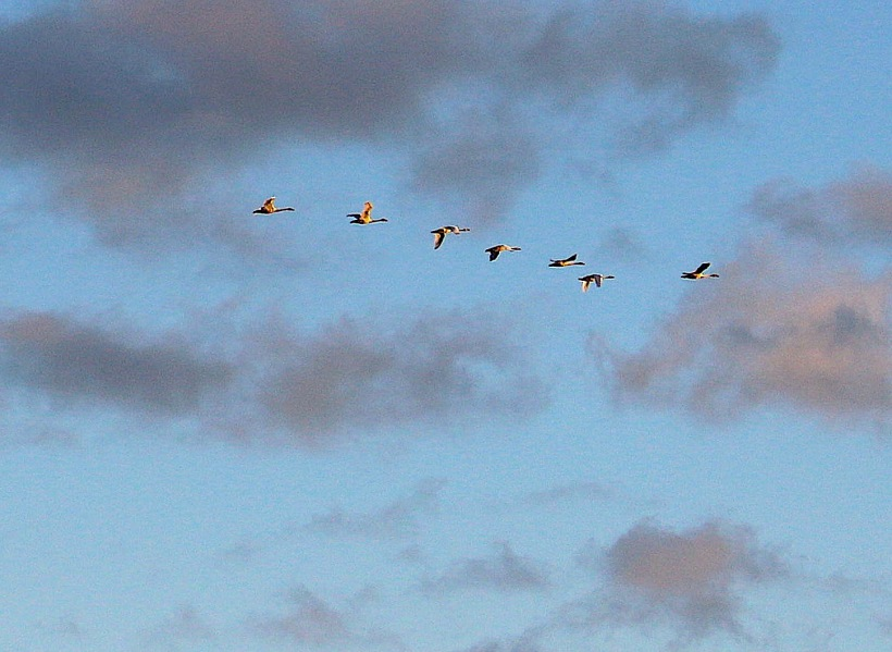 geese113165