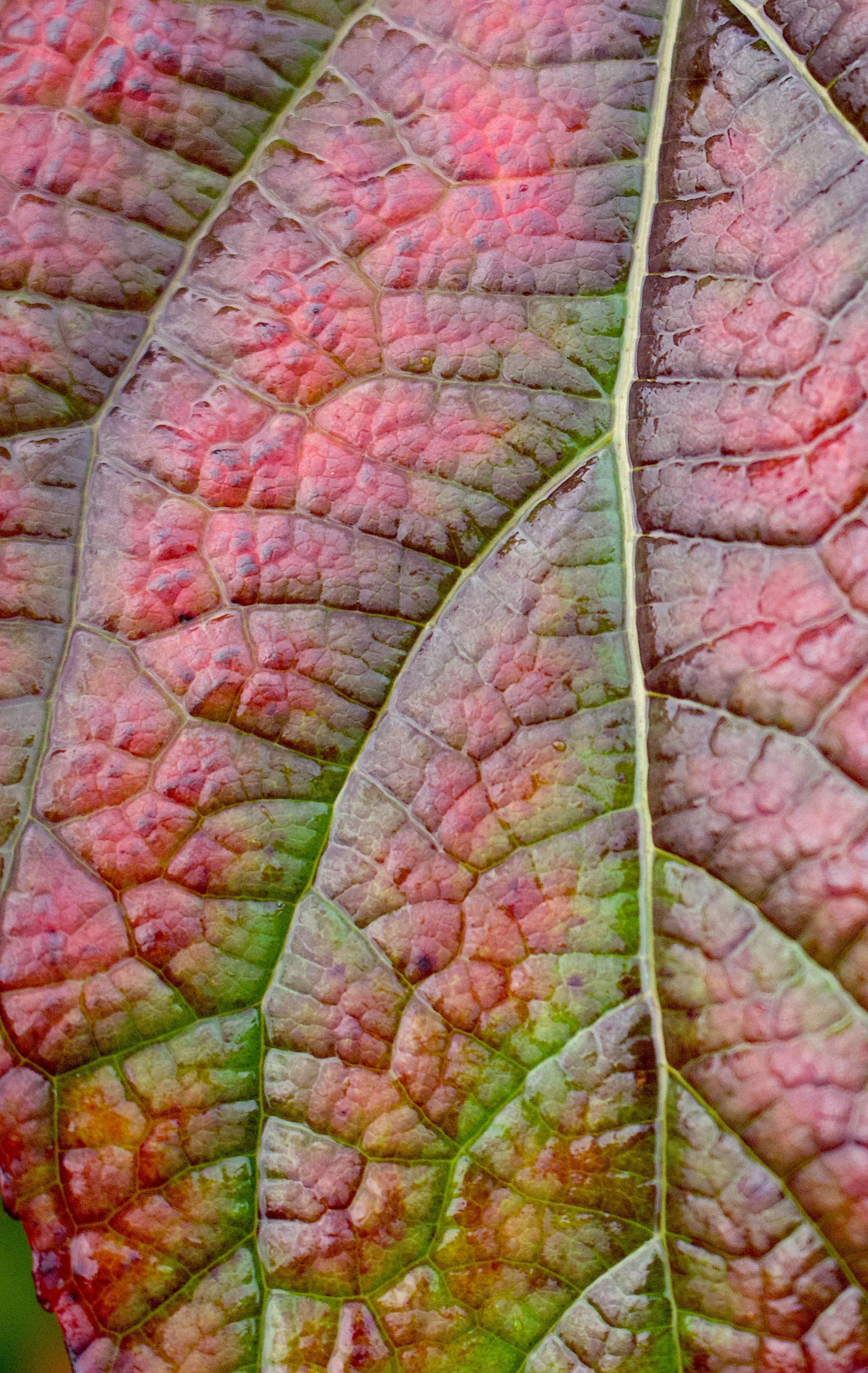 oakleafhydrangea11122