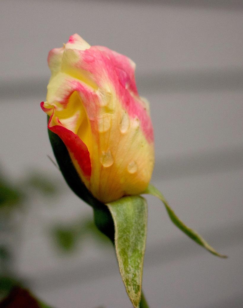 octoberrose