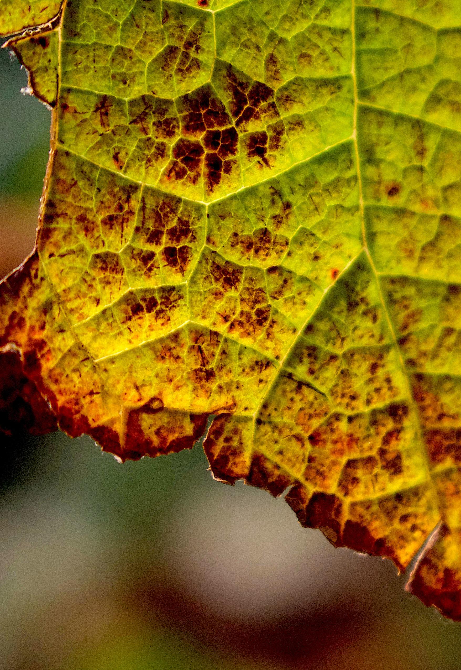 leaf12316