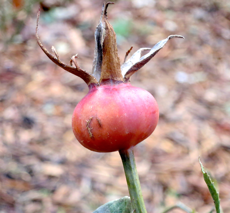 rosehipdec