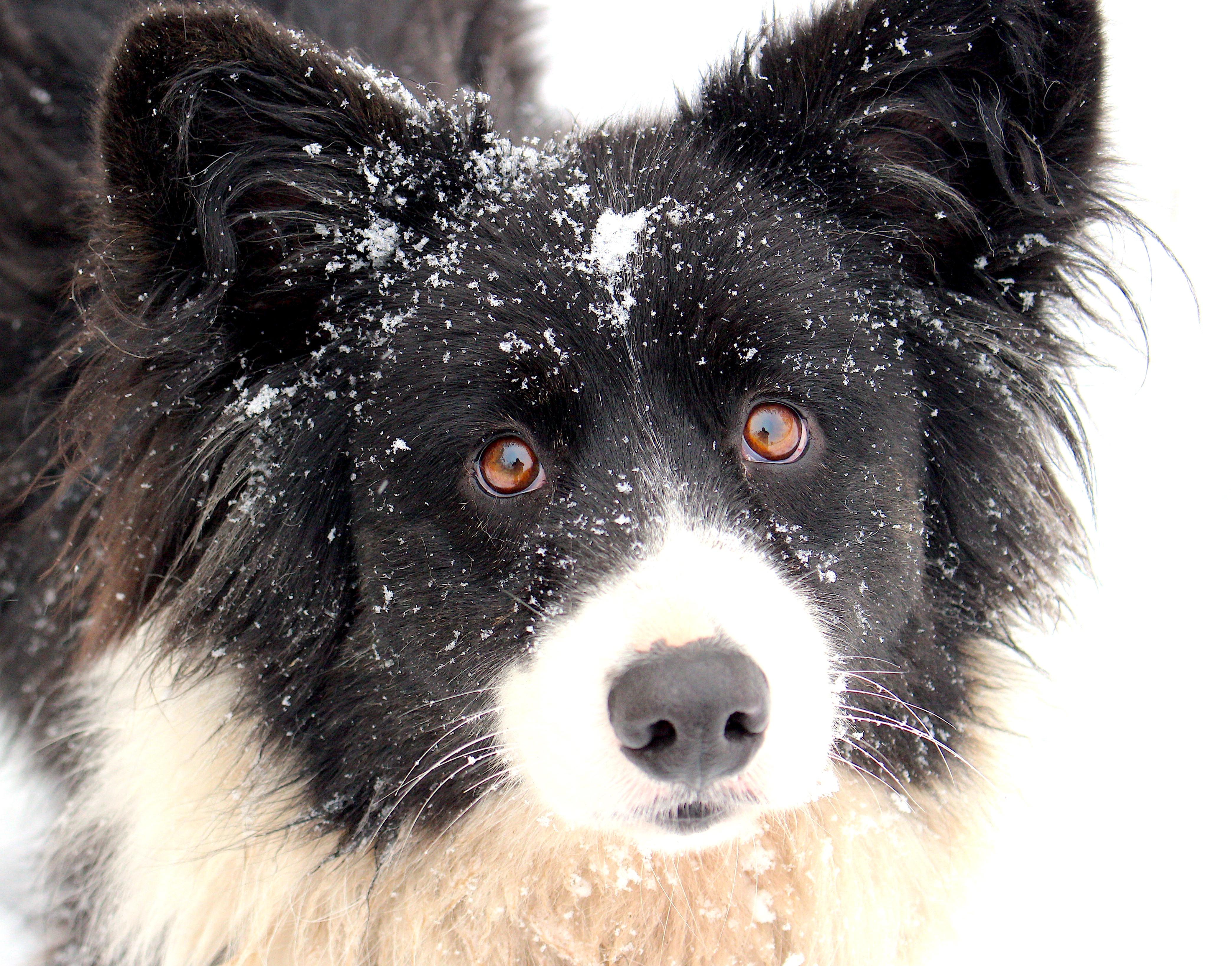 snowpup