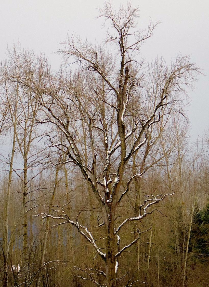 snowycottonwood