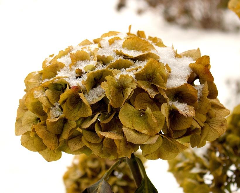 snowyhydrangea