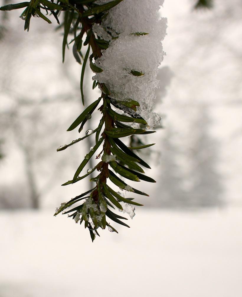 snowyyew