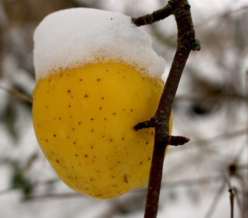 snowyapple2