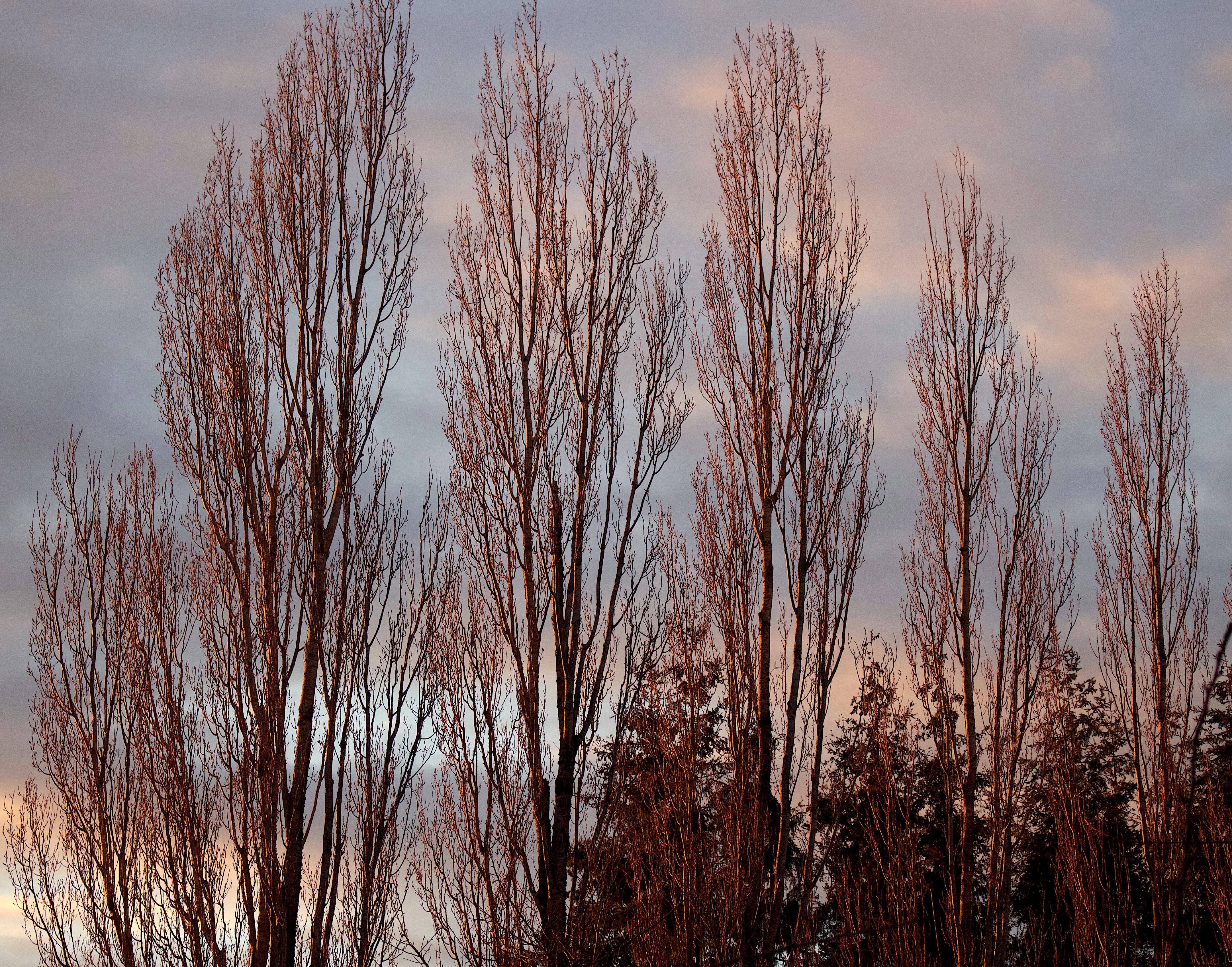 winterpoplars6