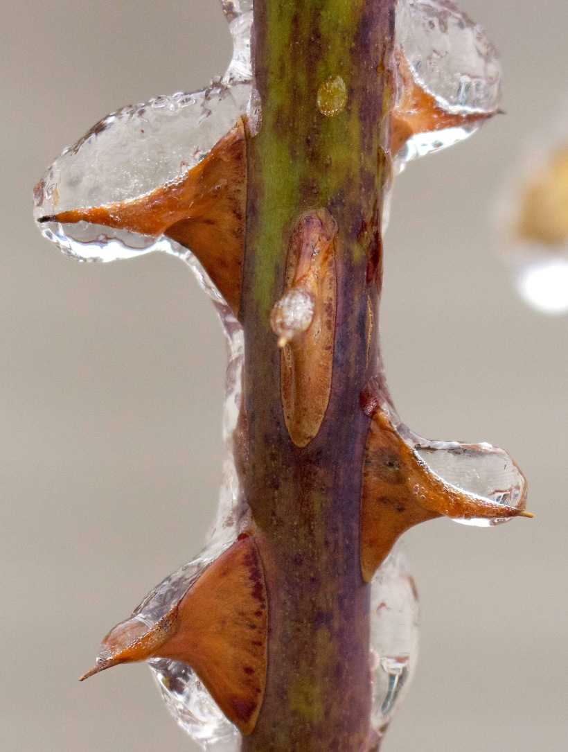 silverthawthorns