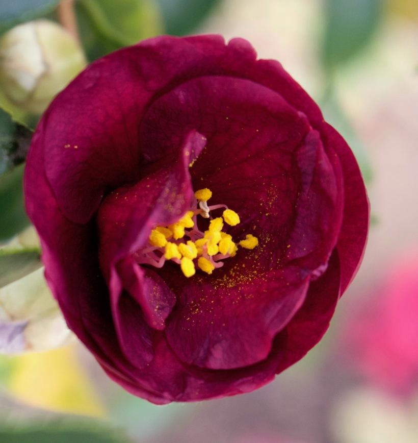 burgundycamellia