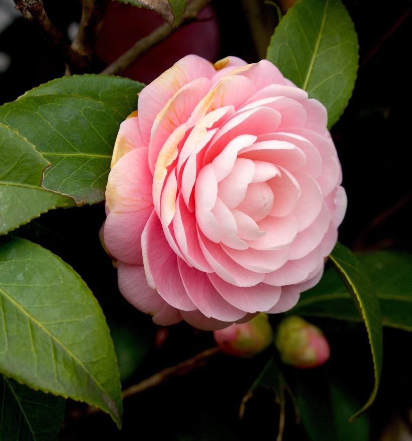 camelliajapanpink