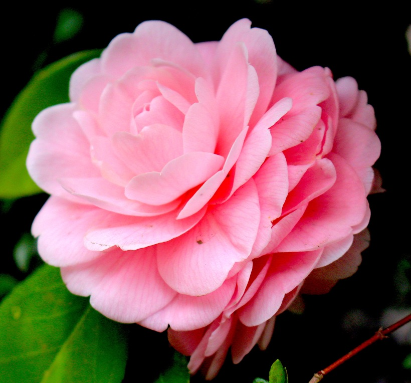 camelliajapanpink2