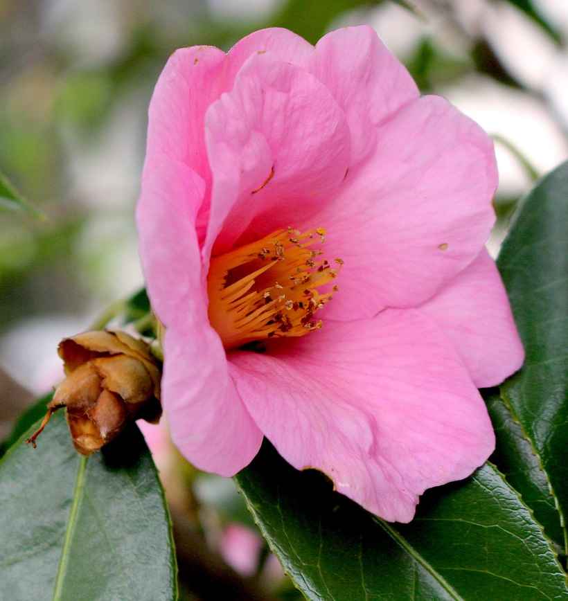 camelliapinkjapan