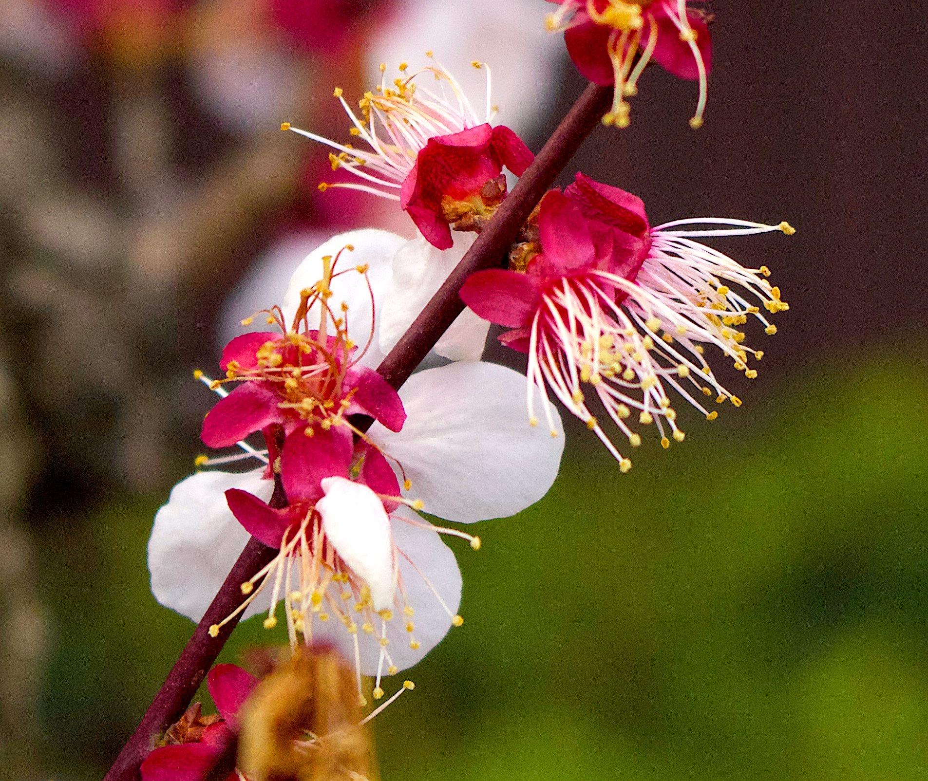 japanflower2