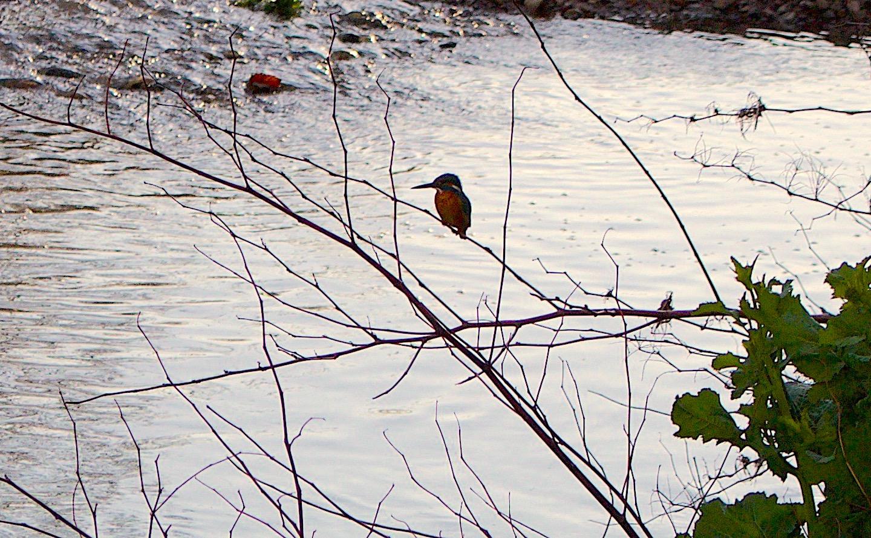 kingfisherjapan3