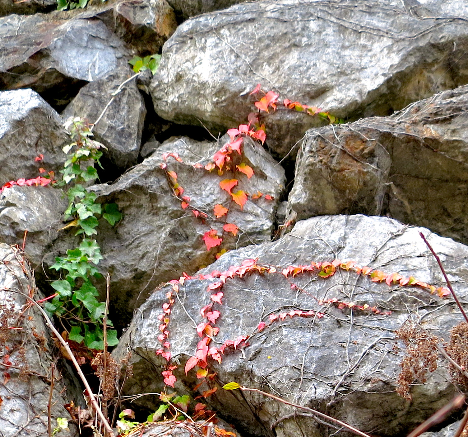 rockvine2