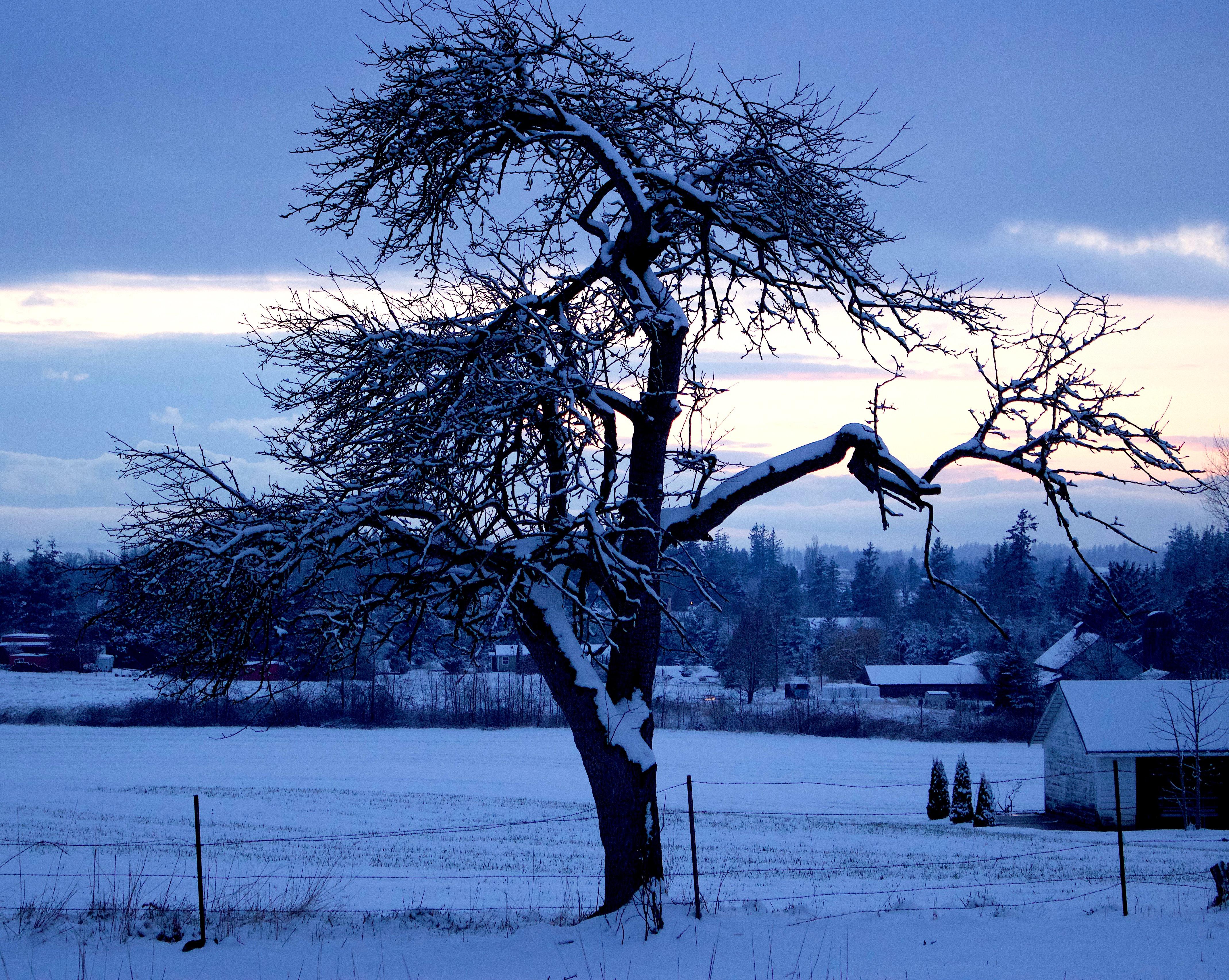 snowyoldtree