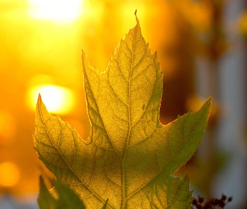oakleafhydrangeabug