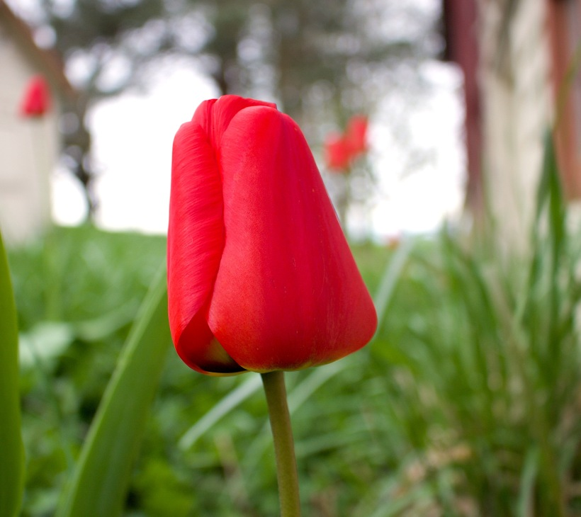 tulip20174