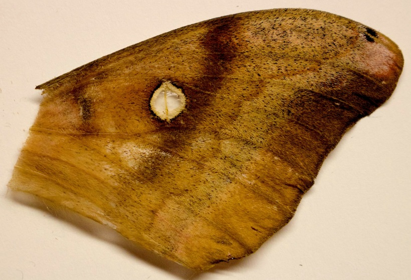 mothwing2