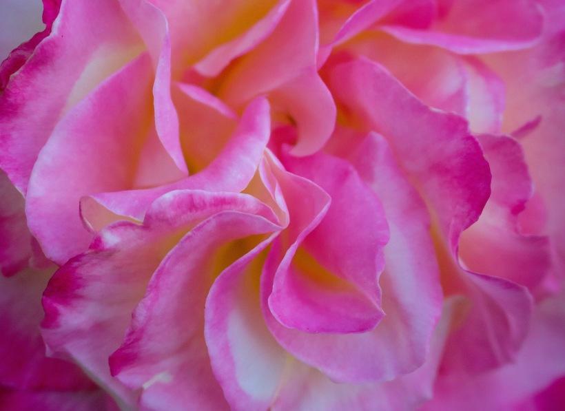 roseswirls