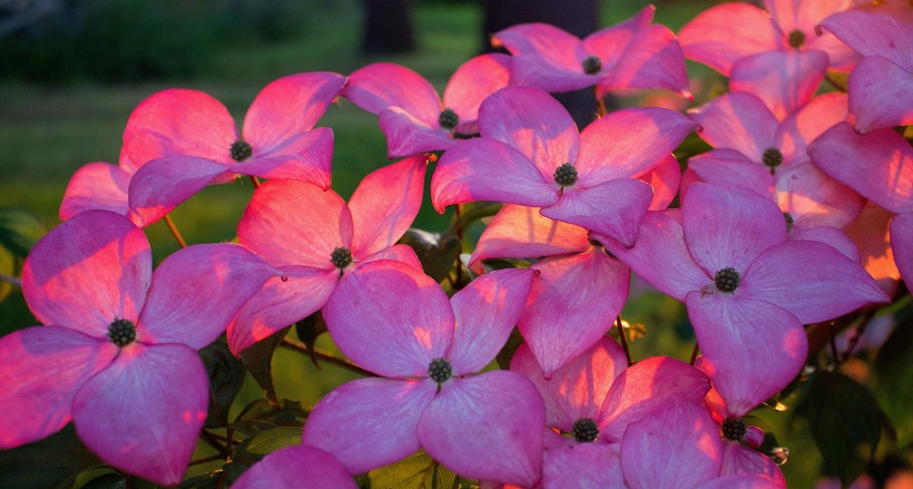 sunsetdogwood