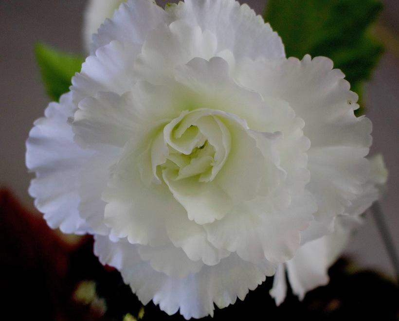 begoniawhite3