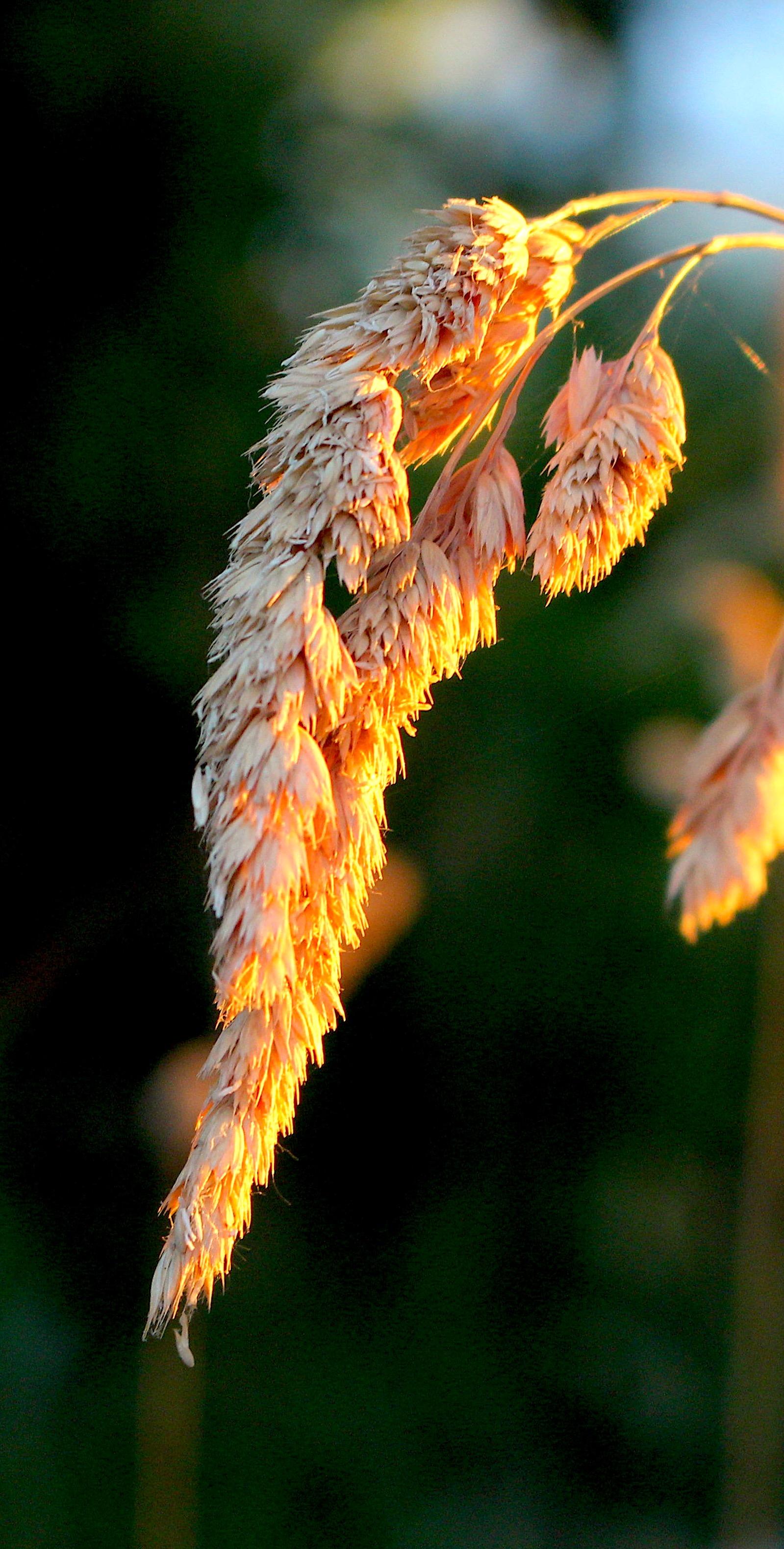grasssunset