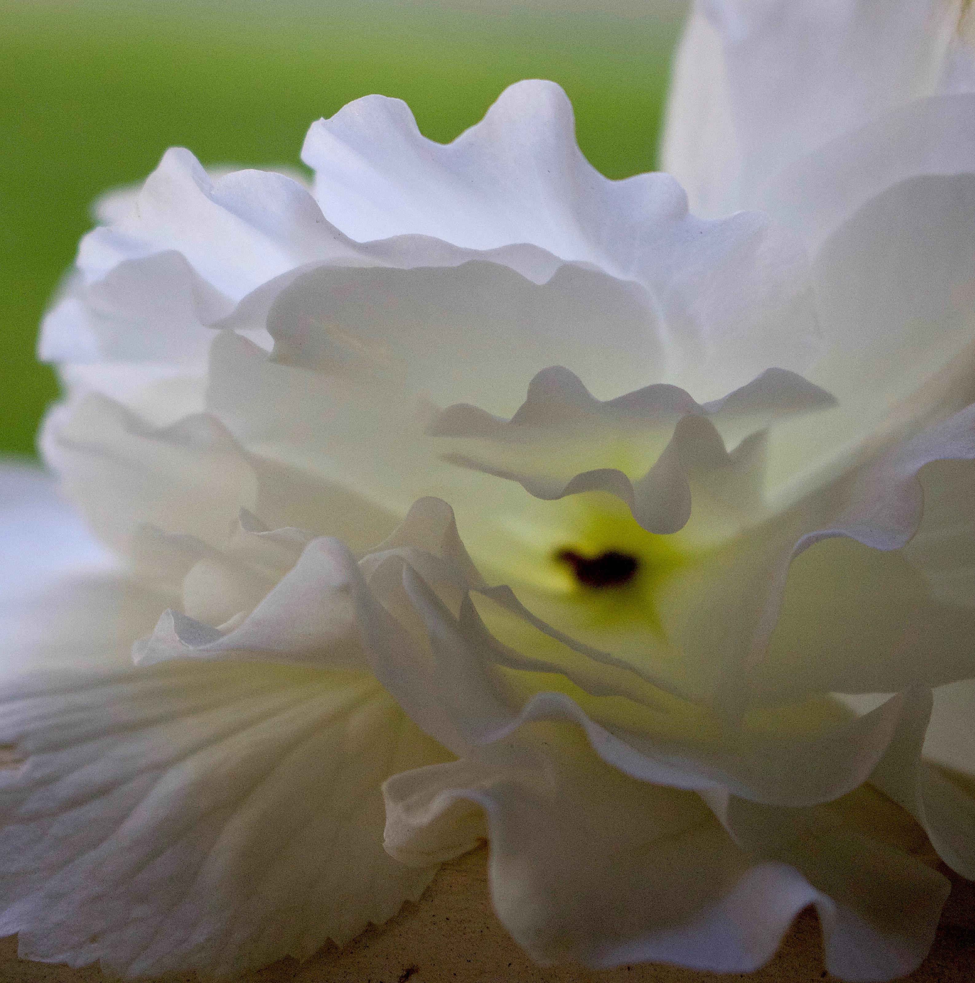 begoniawhite
