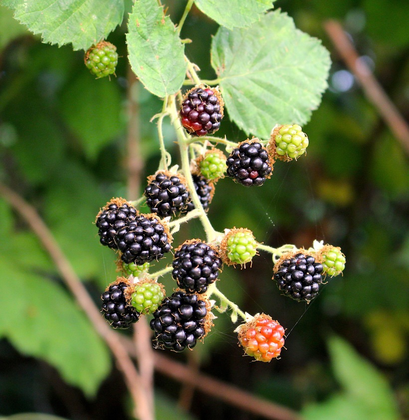 blackberryweb