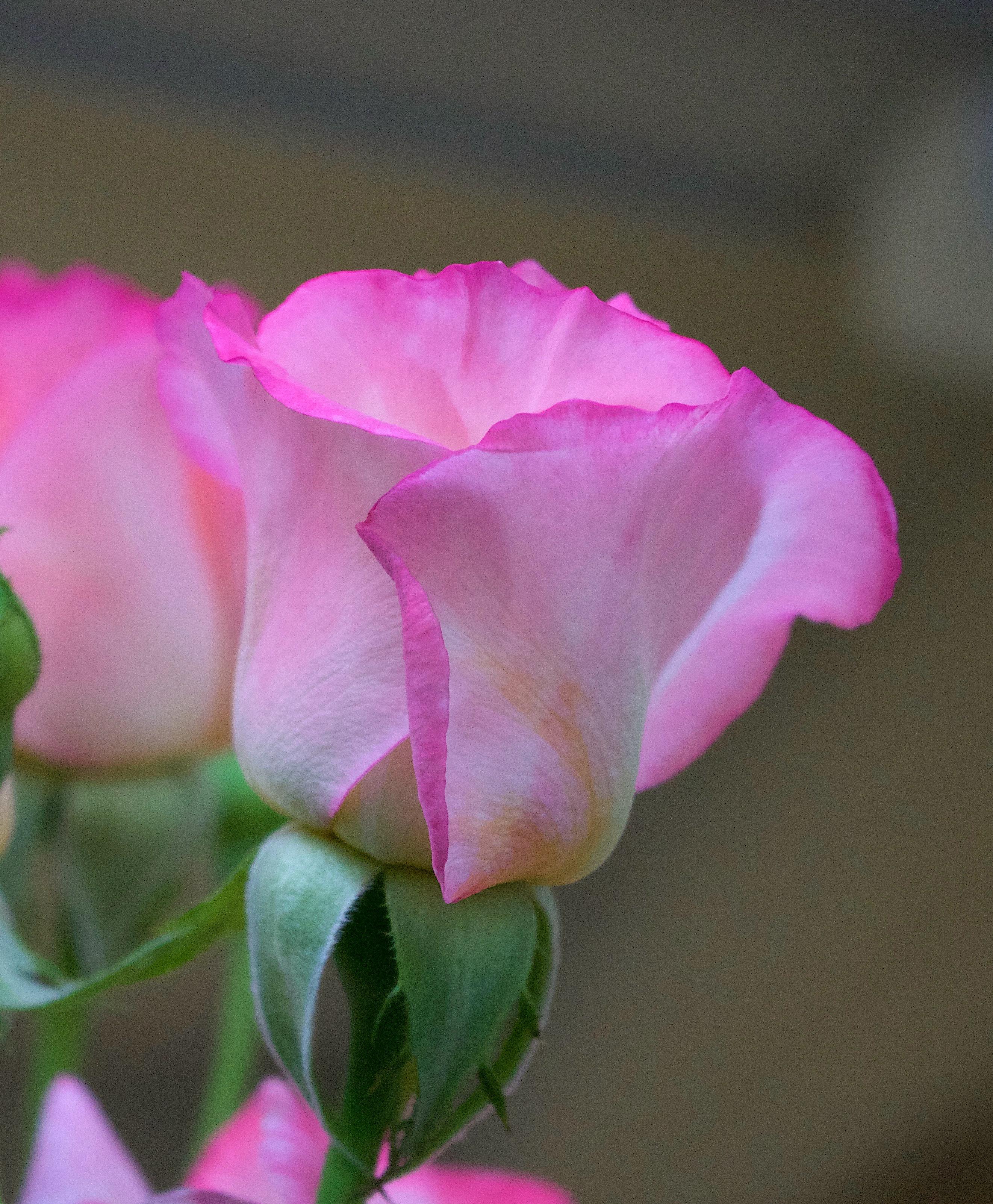rose826172