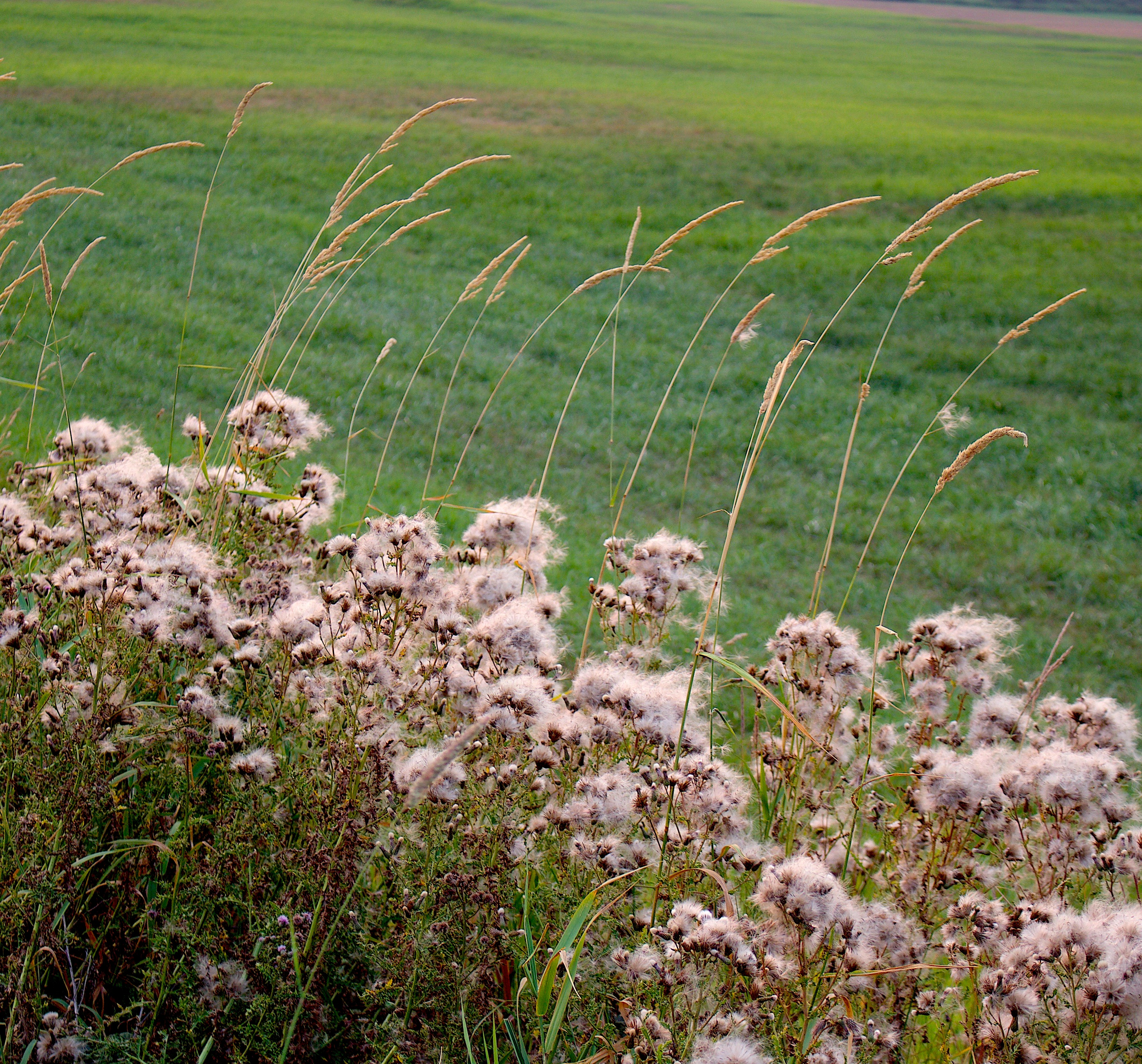 thistlegrass