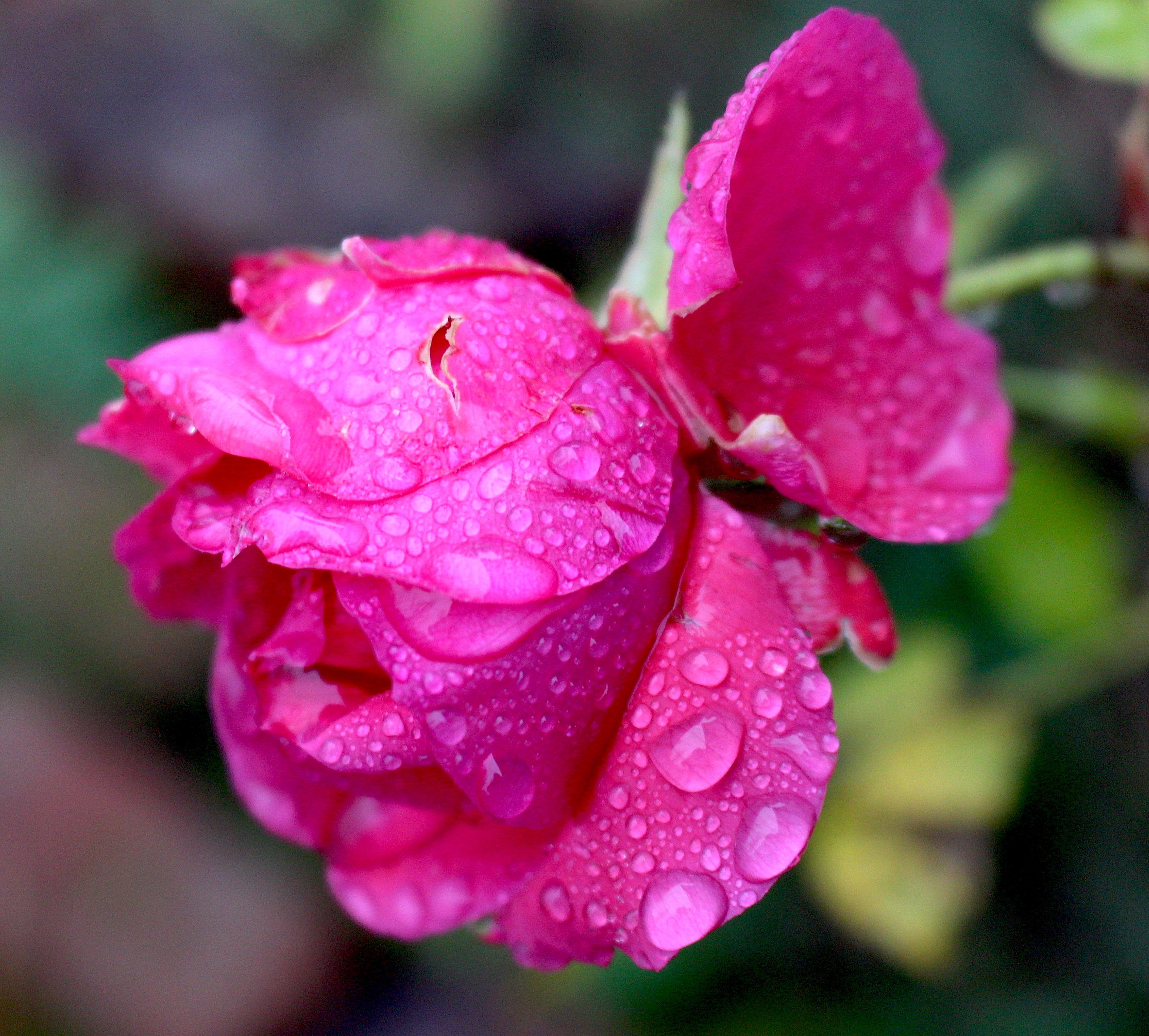 rose123171