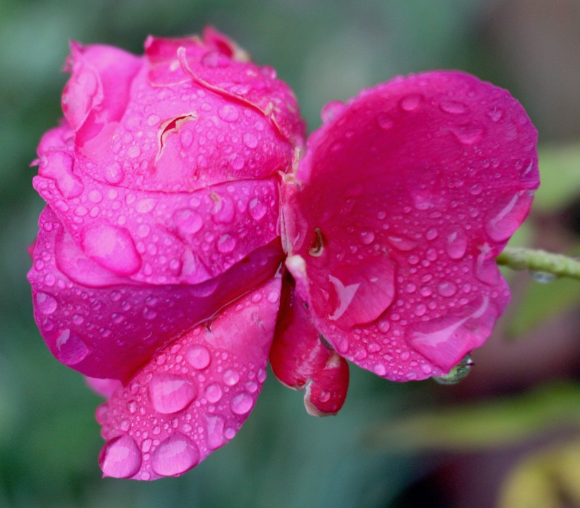 rose123172