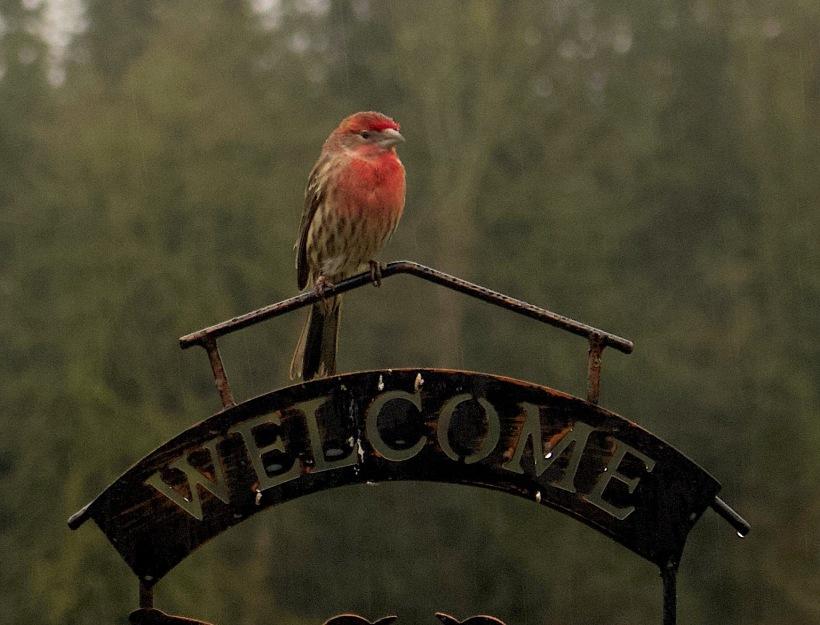 redfinch