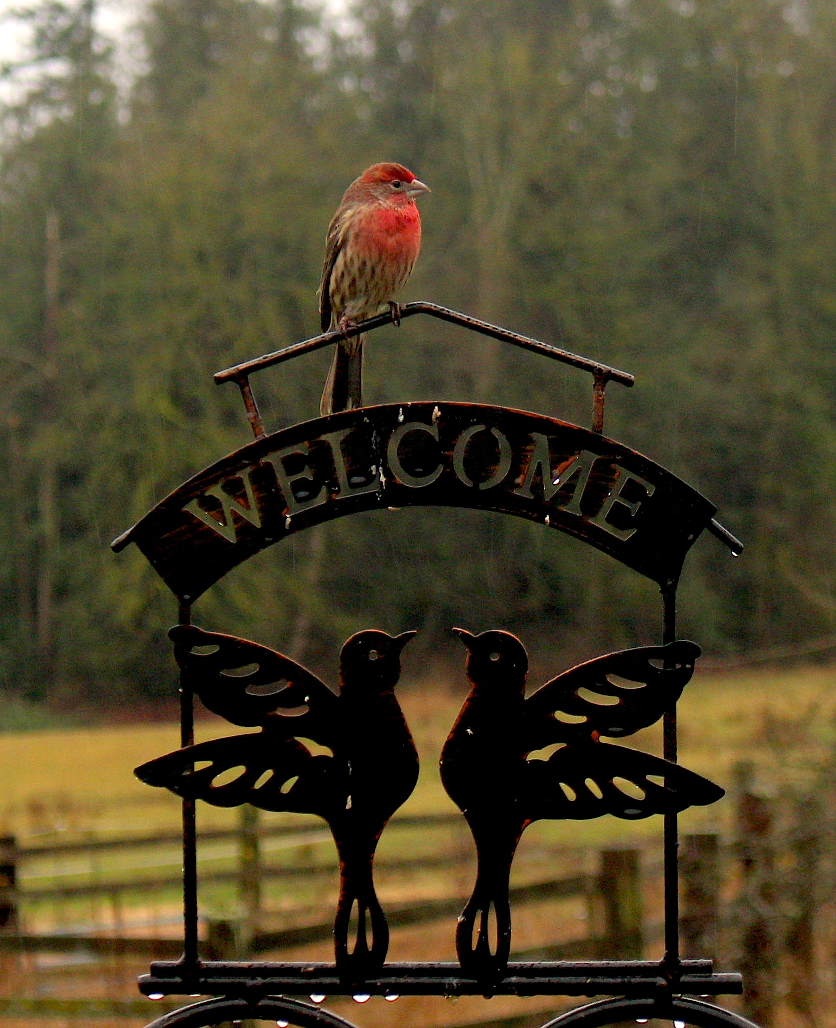 redfinch1