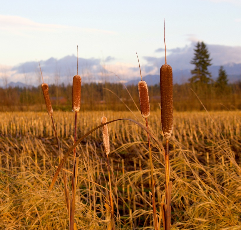 cattails3