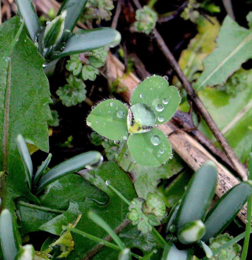 cloverdrops
