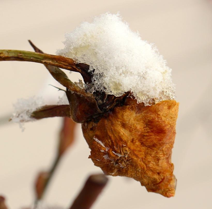 snowyoldrosebud