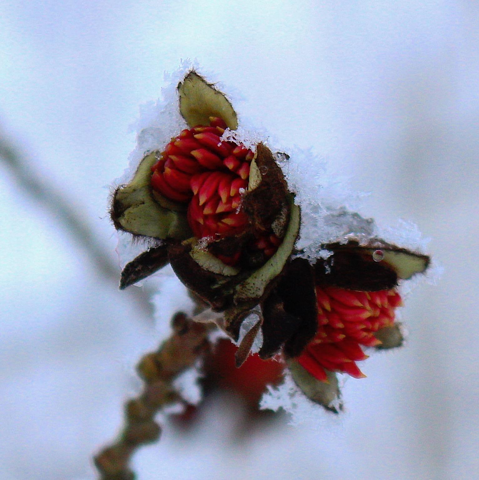 snowyparrotia