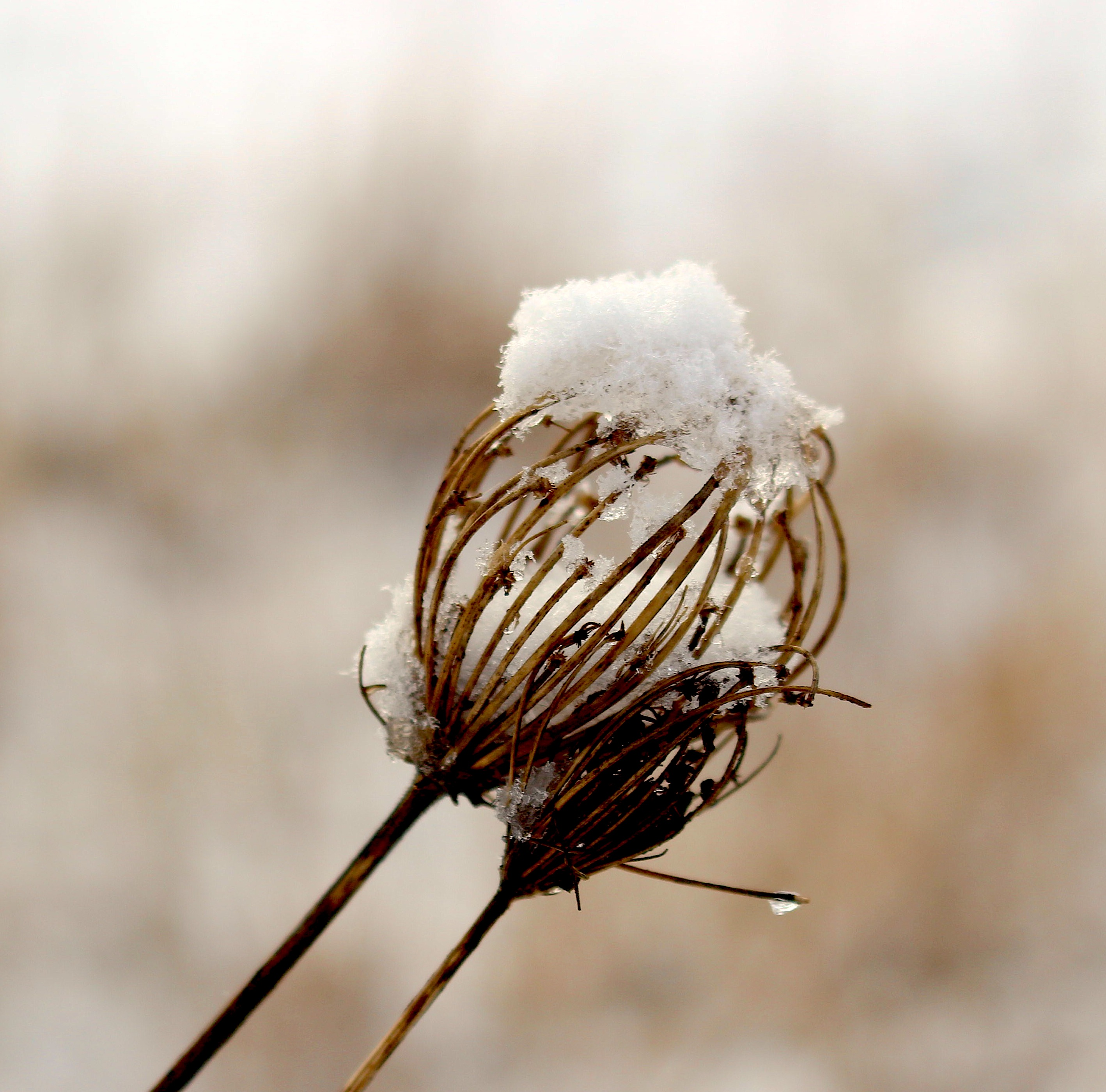 snowyqal