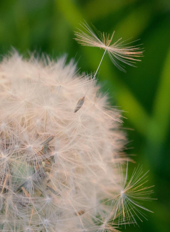 seedlingdandyt