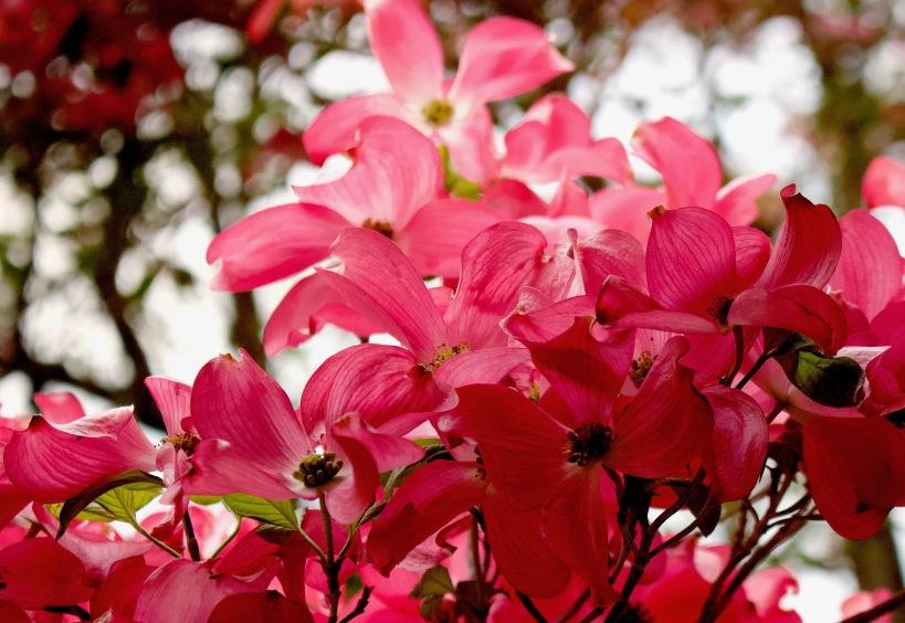 pinkdogwood5101811