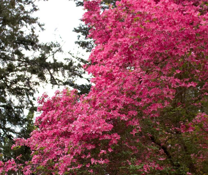 pinkdogwood510187