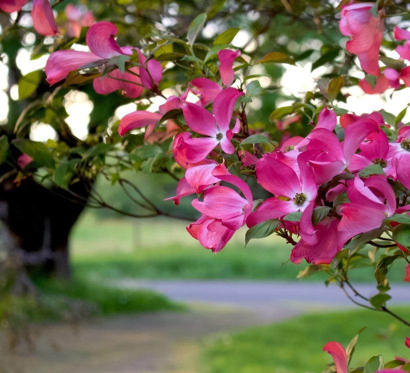 pinkdogwood510188