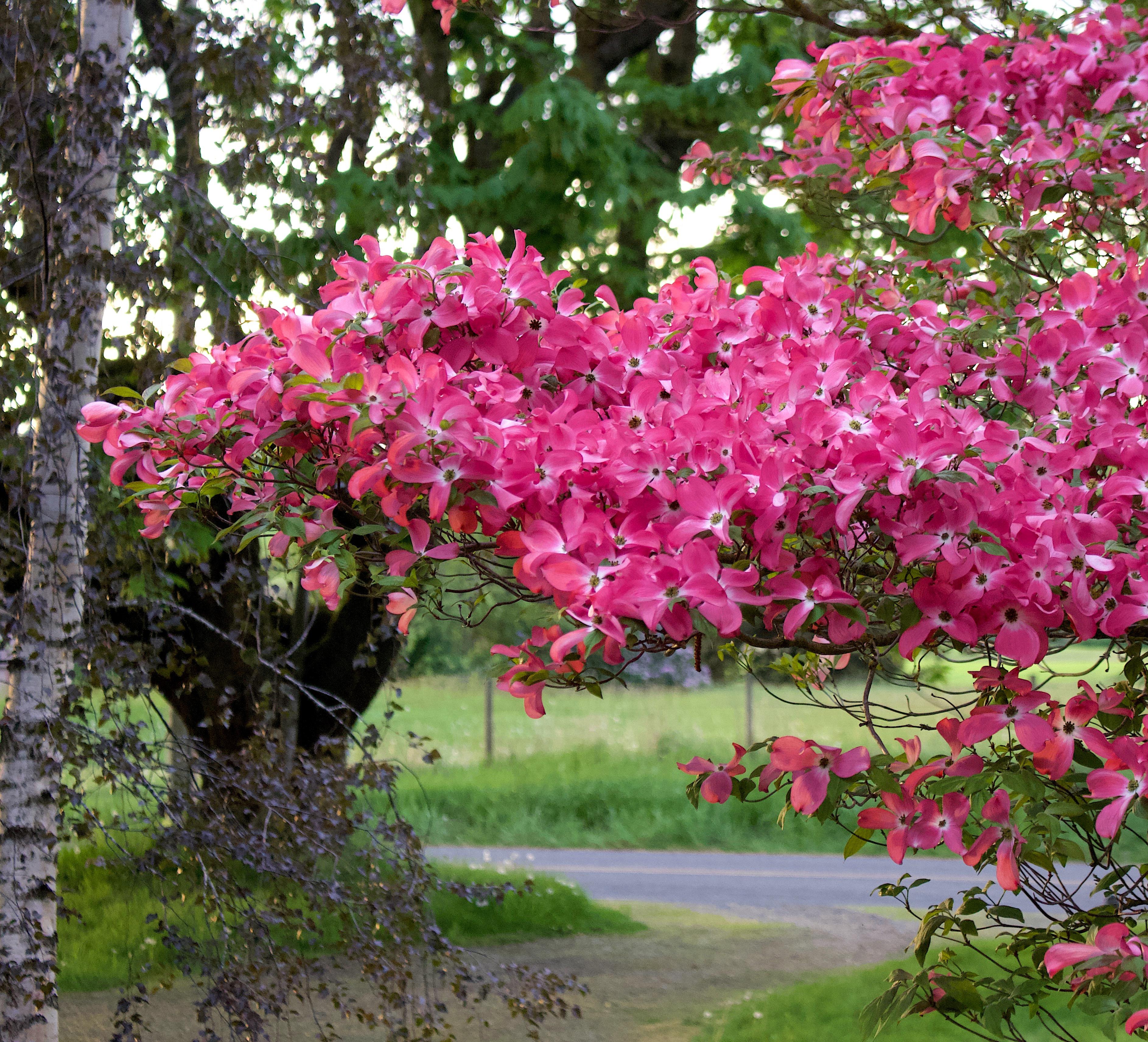 pinkdogwood510189