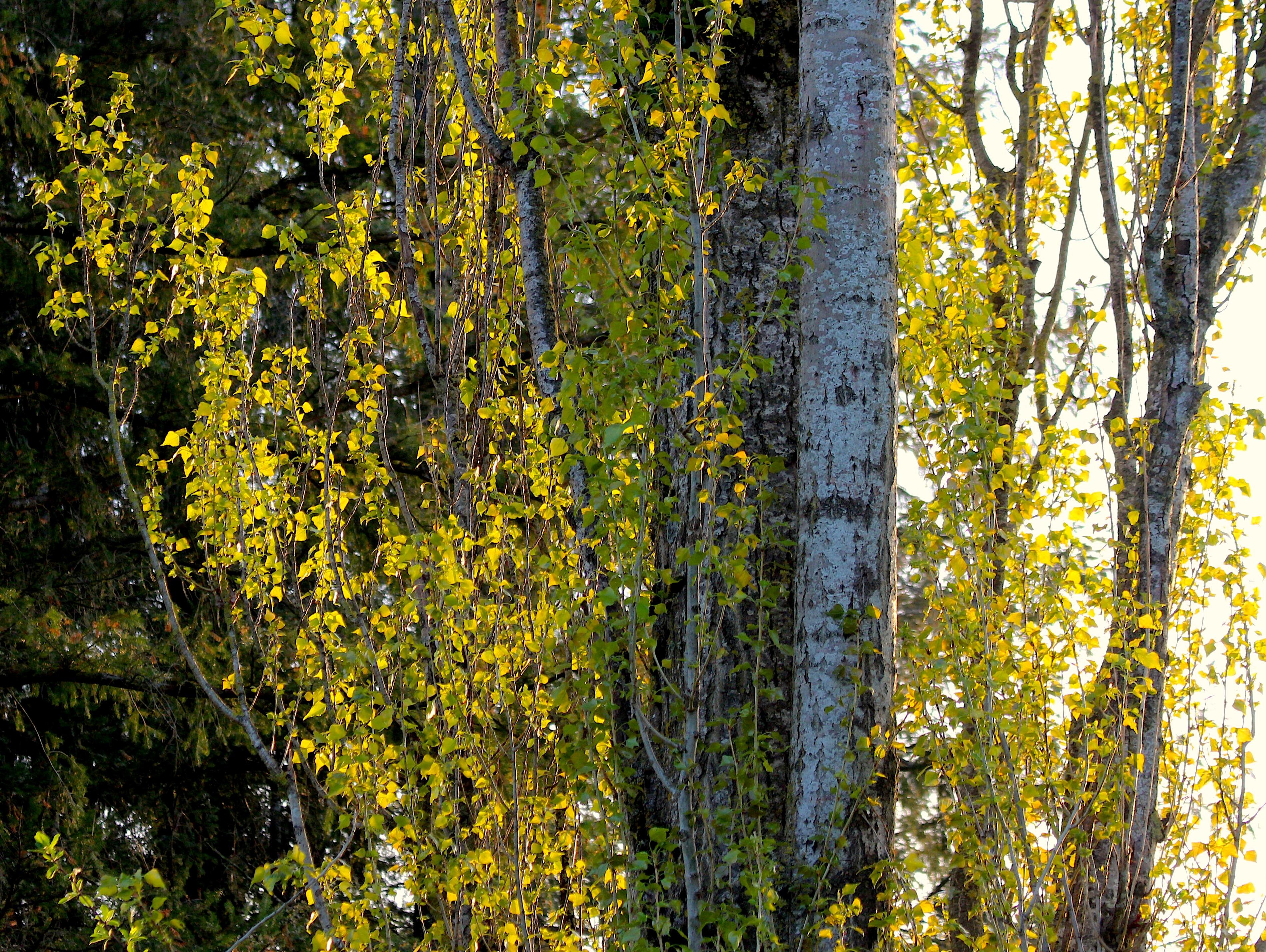 poplarlight