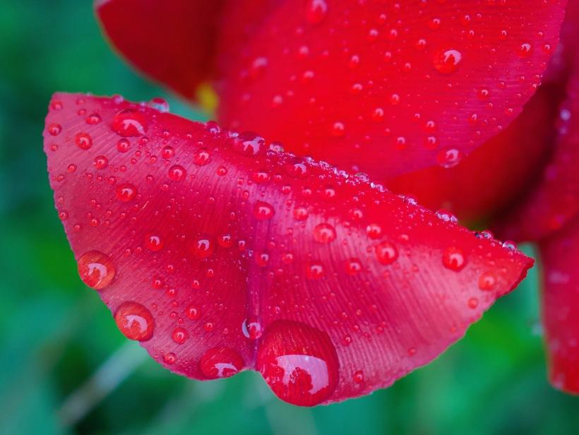 rainytulip1