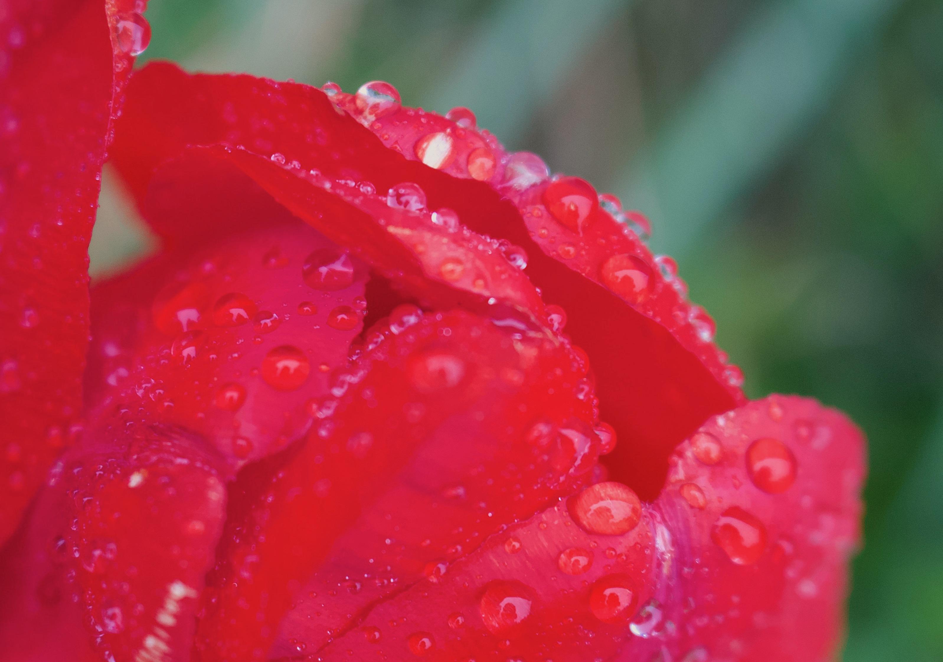 rainytulip2