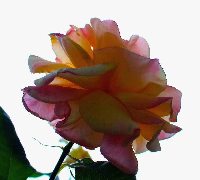 eveningrose