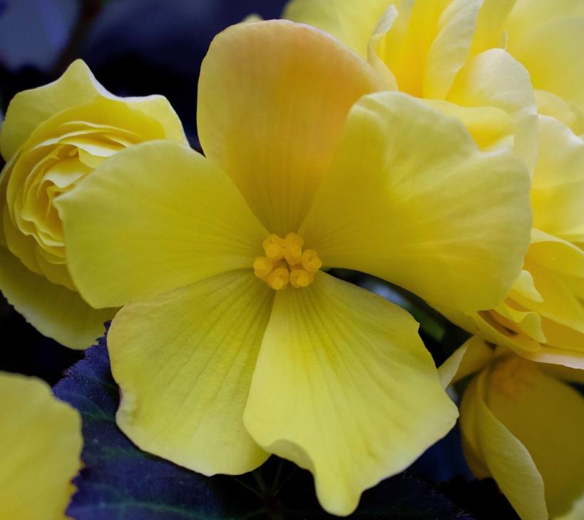 yellowbegonia4